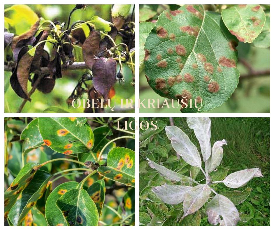 obelų ir kriaušių ligos