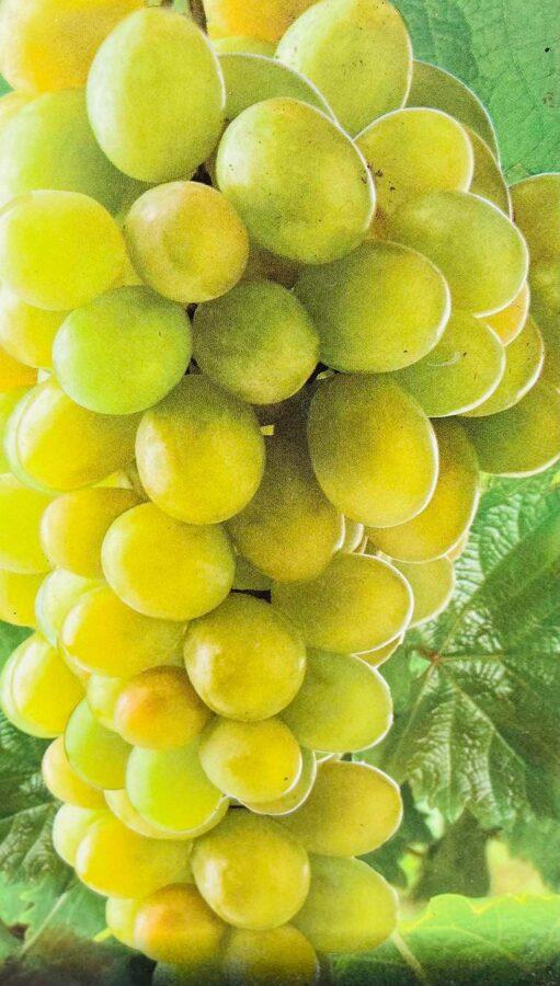Vynuogė Refren