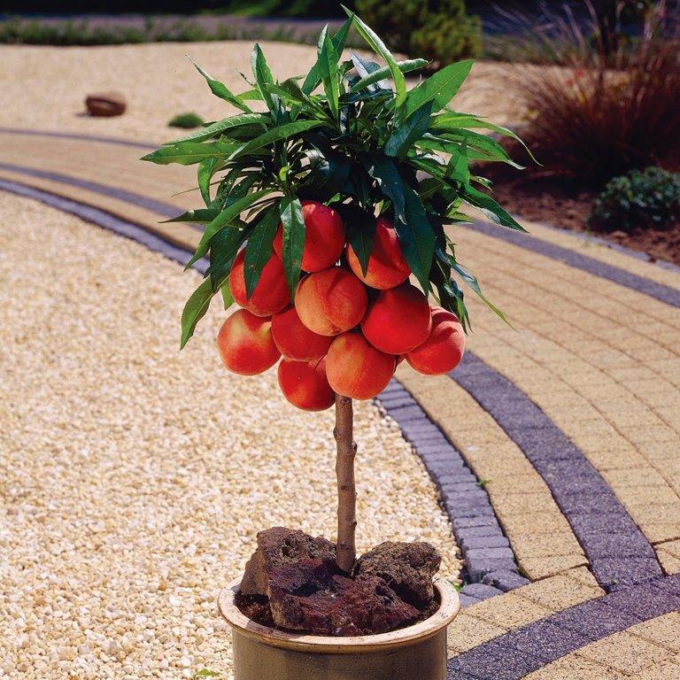 Mini persikas