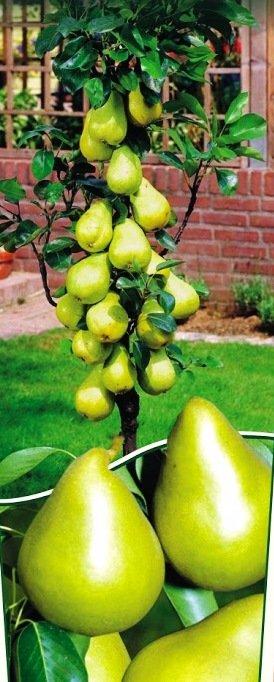 Koloninė mini kriaušė Garden Pearl
