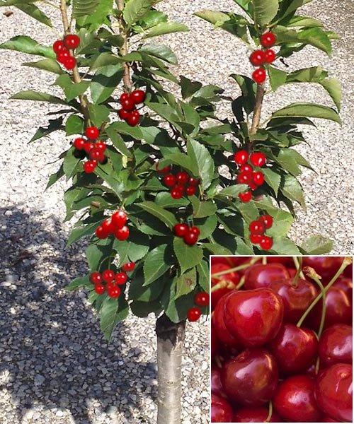 Nykštukinė vyšnia