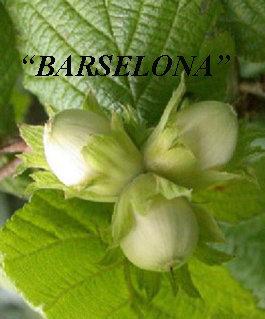 Žalialapis lazdynas BARSELONA