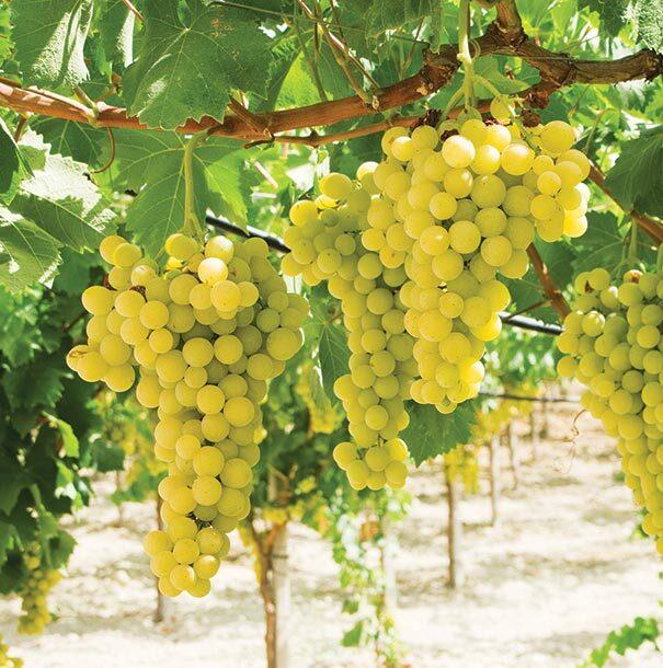 Vynuogė Saint Pepin
