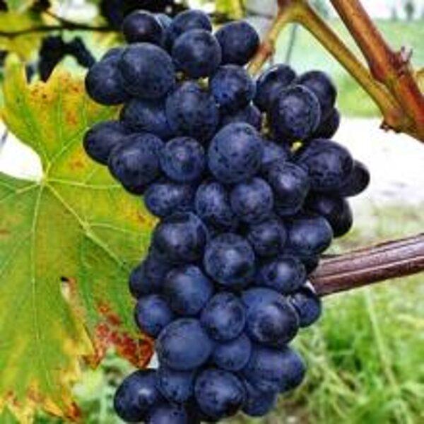 Vynuogių sodinukai