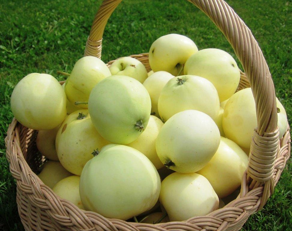 """Vasarinė Obelis """"ALYVINĖ"""""""