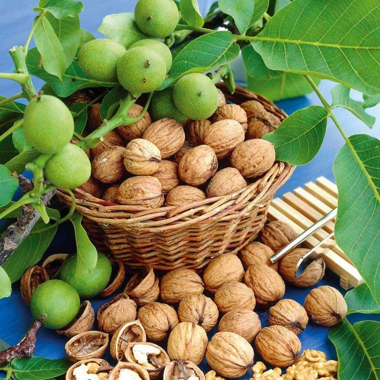 Graikinių riešutmedžių sodinukai