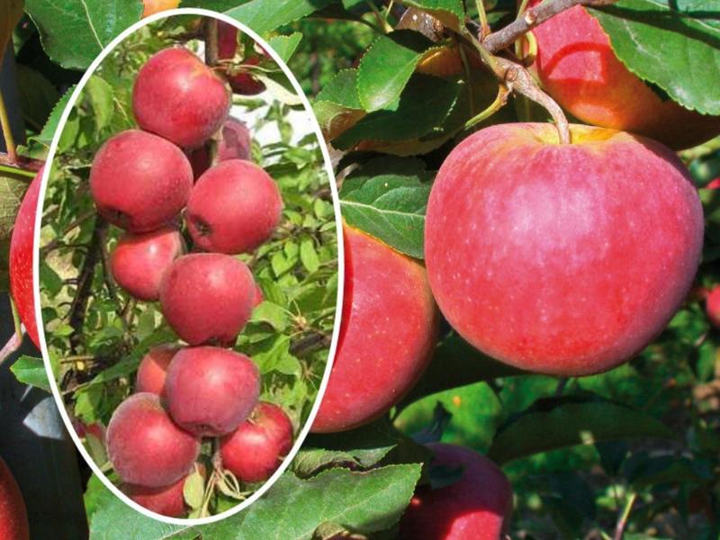Koloninė rudeninė obelis Teleman