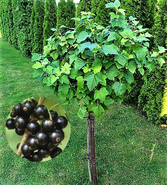 Stiebinis (kamieninis) juodas serbentas