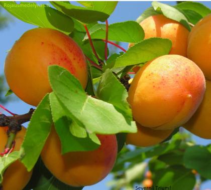 Savidulkis abrikosas Severnij Triumf (Šiaurinis triumfas)