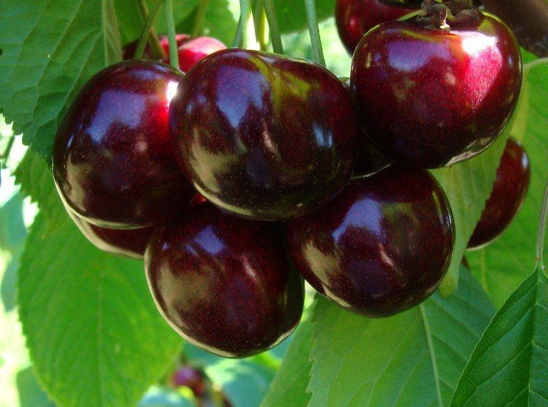 Vyšnių sodinukai