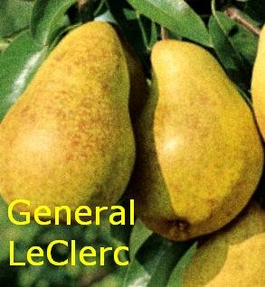 """Rudeninė kriaušė """"GENERAL LECLERC"""""""