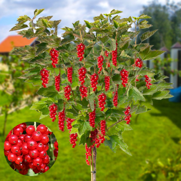Stiebinis (kamieninis) raudonas serbentas Olandų didieji