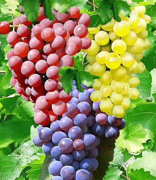 Vynuogių rinkinys